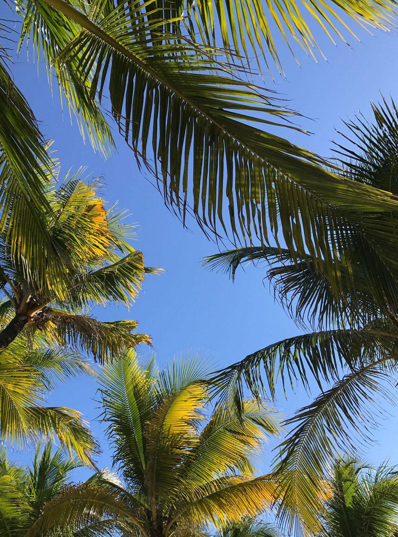 Mexico palm tree